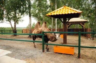 верблюд_Фараон